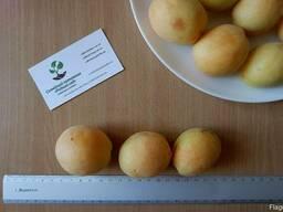 """Абрикос """"Ананасный"""" семена (10 штук) насіння, косточка."""
