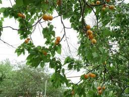 Абрикос ранний (10 штук) семена косточки (для саженцев) - фото 5