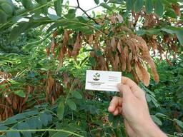 Акация белая семена (10шт) робиния, насіння для саджанців.