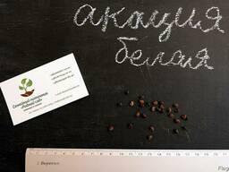 Акация белая семена (10шт) робиния, насіння для саджанців. - фото 2