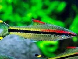 Аквариумная рыба Барбус денисони 6-8 см
