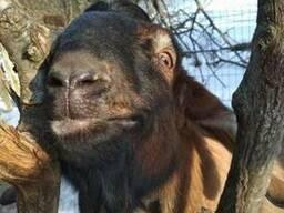 Англо-нбийский козел