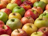 Купим яблоки для дальнейшего экспорта Дубаи, Европа и др - фото 1