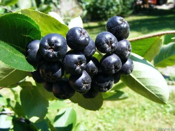 Арония черноплодная, горобина чорноплідна