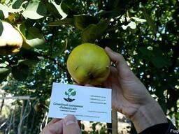 Айва семена (10 шт) для выращивания саженцев семечка насіння