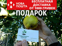 Айва семена (20 шт)