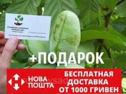 Азимина семена Asimina triloba (10шт) косточки, семечки. ..