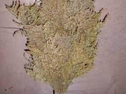 Банные веники с золотарника канадского