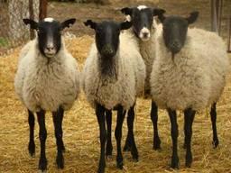 Бараны, Овцы, Ягнята (Романовская порода)