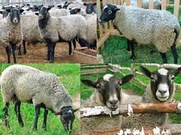 Бараны, Овцы, Ягнята (Романовская порода) Опт и Розница