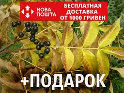 Бархат амурский семена (20 шт) Phellodéndron amurénse. ..