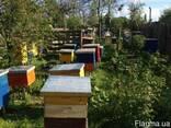Бджоди, пчелы, фото 2