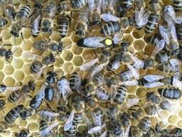 Бджоломатка Карпатка Пчеломатка Матка 2018 Пчелинные матки