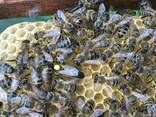 Пчеломатки Матка Карніка, Карпатка 2020 Пчелинная Матка - фото 2