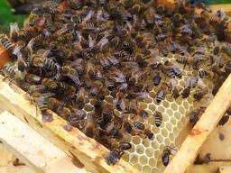 Бджоломатки (Пчеломатка) Карпатської породи 2021р.