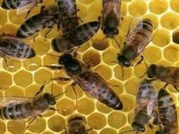 Бджоломатки (пчеломатки) карпатка, карпатской породы 2019