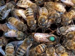 Бджоломатки , пчеломатки Карпатки Плодные 2019 года