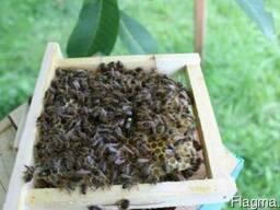Бджоломатки породы Карпатка