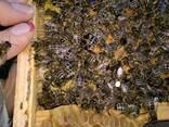 Бджоломатки породы Карпатка - фото 2