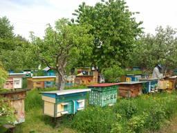 Бджолопакети і Бджоломатки Карпатської породи 2020 року. F1