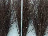 Березовые веники - фото 2