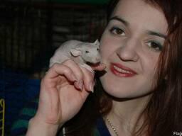 Бежевые голенькие крыски дамбо сфинкс