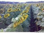 Безліч гібридів (насіння) соняшнику за низькими цінами - фото 1