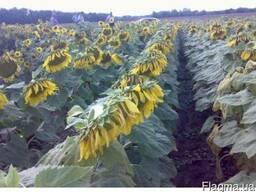 Безліч гібридів (насіння) соняшнику за низькими цінами