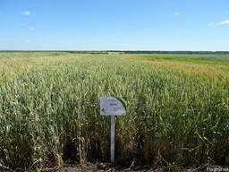 Безостая озимая пшеница Бория семена - Борія