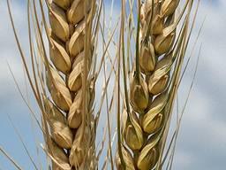 Пшеница Благодарка одесская элита