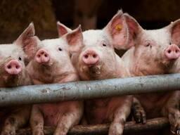 БМВД для свиней Старт 25% (8-35кг)