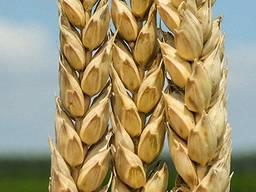 Пшеница Богдана элита