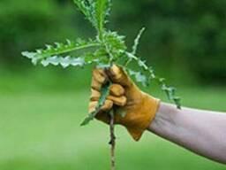 Борьба с бурьяном на участках с газонной травой и без него!