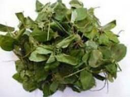 Боровая матка (ортилия) трава - фото 2