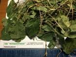 Боровая матка трава, ортилия.Лечение женских болезней - фото 2