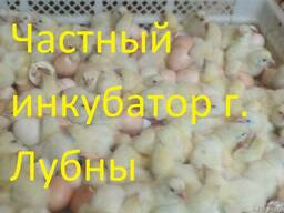 Бройлер кросс КОББ 500 , РОС 308 суточный