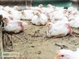 Цыплята Табака