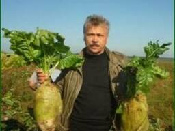 Буряк кормовой Центаур, Урсус, гибрид Рекорд Сонет