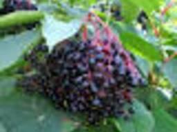 Бузина черная,плоды.