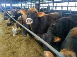 Бычки, быки, КРС от 170кг оптом