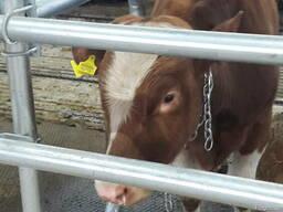 Бычки коровы Бараны