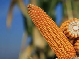 Cемена кукурузы Сильвинио