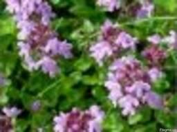 Чабер сушеный и другие травы и специи