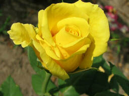 Чайно-гибридная роза сорт Папилон (Papillon)