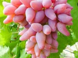 Черенки чубуки винограда Эверест Ромбик Оскар Ливия Володар