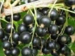 Черенки смородины промышленных сортов Тибен Тисел, Бен Ломон