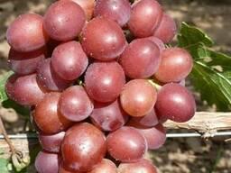Черенки винограда 4-х глазковые. Лучшие сорта