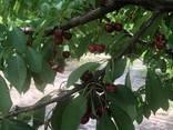 Черешня мелитопольская - фото 4