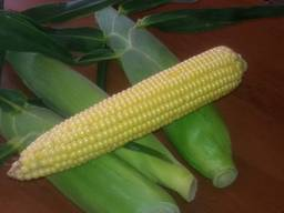 Цукрова кукурудза Добрыня