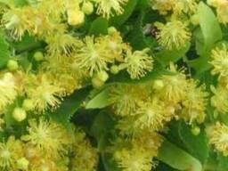 Цвет липы (липовый цвет, цветки липы) 25 грамм